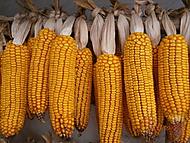 Také klasy kukuřice patří k podzimu... (Neregistrovaný)