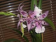 Beallara Peggy Ruth Carpenter (květiny)