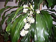 Květ Draceny (Naďka)