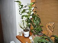 Dendrobium Nobile (Neregistrovaný)