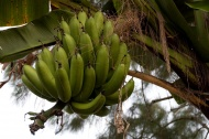 Ještě jeden banánovník (Larssen)