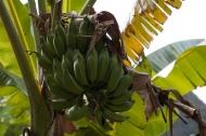 Banánovník (Larssen)