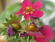 Květy jahod (janka56)