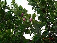 Magnolie (Naďka)