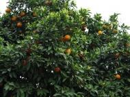 Pomeranče v Římě (Larssen)