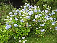 modrá (bouga)