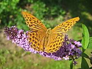 motýl (bouga)