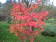 javor podzimní zbarvení (bouga)