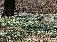 sněženkové jaro (bomila)
