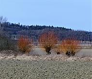 vrby (bomila)