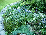 hyacintovce (kočičí)