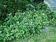 lesni jahody v zahrade (kočičí)