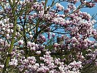 magnolie (bomila)