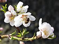 mandloně už rozkvétají (bomila)