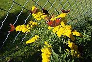 motýlí hodování (bomila)