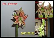 výška stvolu 35 cm,průměr květu 8 cm (Karen Válková)