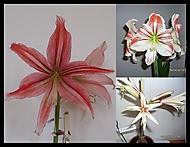 093a-2013-00)...výška stvolu 35 cm, průměr květu 15 cm (Karen Válková)