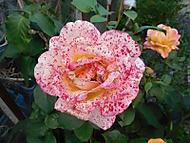 růže (Naďka)