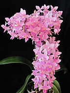 Phalaenopsis (dama 55)