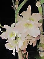 Dendrobium Spring Dream (dama 55)