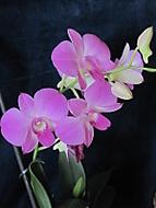 Dendrobium phalaenopsis (dama 55)