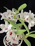 Dendrobium /Marie Noel?/ (dama 55)