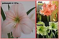výška stvolu 30 cm, průměr květu 19 cm (Karen Válková)