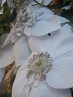 květy clematisu (janka56)