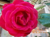 květ růže (janka56)