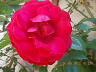 růže (janka56)