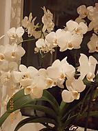 orchidej 50.květů (janka56)