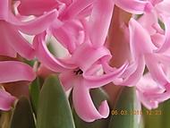 hyacint (janka56)