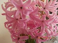 hyacint růžový (janka56)
