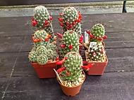Moje kaktusy 2015 (jivjiv)