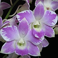 Phaalenopsis (klivie)