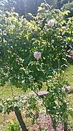 růže stolistá (bouga)
