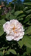 detail růže stolisté (bouga)