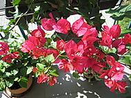 rozkvetla (bouga)