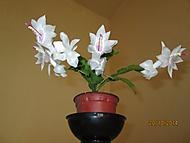 vánoční bílý kaktus (Karen Válková)