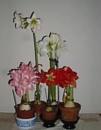 amaryllisy  v květu č.2 (Karen Válková)