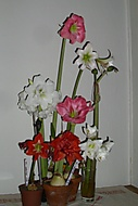 amaryllisy  v květu č.3 (Karen Válková)