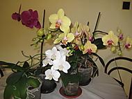 Phalaenopsis (bouga)
