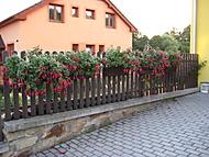 fuchsie také na plotě (bouga)