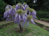 Pěkný okrasný stromek v Římě (Larssen)