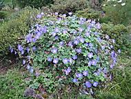 kakost Rozanne, jedna rostlina a stále kvete od jara (bouga)
