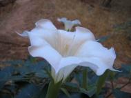 Květina (Larssen)