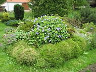 kakost Rozanne na vrcholu, jedna rostlina (bouga)