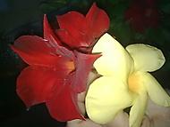 Květy mandevily-i opadané jsou krásné (rajsa)