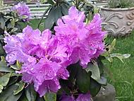rododendron (majka6)