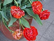 tulipány (bomila)